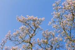 Magnoliaboom met blauwe hemel Royalty-vrije Stock Foto's