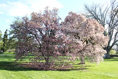 Magnoliaboom Pennsylvania stock foto