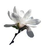 Magnoliabrach med den vita blomman som isoleras på vit bakgrund Royaltyfri Bild