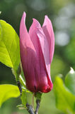 Magnoliaceae flower Royalty Free Stock Photography