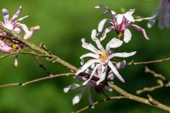 Magnoliaceae,  stellata magnolia rosea, branches of the plant with large flowers Royalty Free Stock Photography