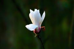 Magnoliadenudata Arkivbilder