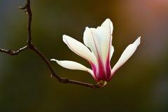 Magnoliadenudata Royaltyfria Foton