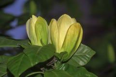 Magnoliaguling Arkivfoton