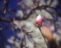 Magnoliaknop. Stock Afbeeldingen
