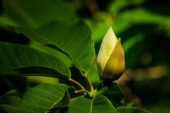 Magnoliaknop royalty-vrije stock fotografie