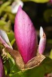 Magnoliaknop Stock Fotografie