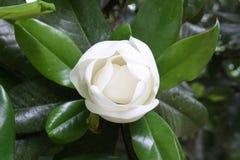 Magnoliaknop Royalty-vrije Stock Foto
