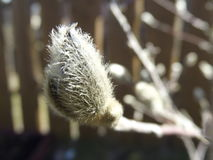 Magnoliaknop in de lente Stock Afbeelding