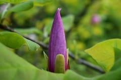 Magnoliaknopp Royaltyfria Foton