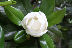 Magnoliaknopp Royaltyfri Foto