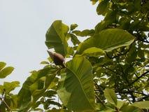 Magnoliaknopp i den blåa himlen Royaltyfri Bild