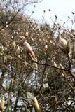 Magnoliaknoppar Fotografering för Bildbyråer