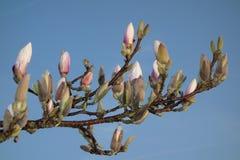 Magnoliaknoppen Royalty-vrije Stock Afbeeldingen