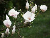 Magnoliaknoppen Stock Foto's
