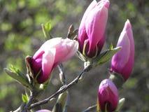 Magnoliaknoppen in de lente stock afbeelding