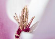 Magnoliamacro Royalty-vrije Stock Afbeeldingen