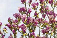 Magnolian blommar att blomma för vår Arkivbilder
