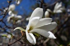 Magnolian blommar i blå himmel Royaltyfria Foton