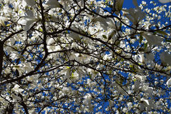 Magnolian blommar i blå himmel Royaltyfri Bild