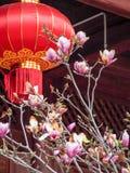 Magnolian blomstrar med den röda kinesiska lyktan för det nya året Arkivfoto