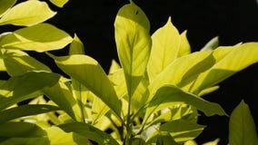 Magnolian lämnar makrosvartbakgrund royaltyfri fotografi