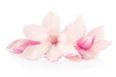 Magnolian rosa färg fjädrar blommor och knoppgruppen Royaltyfri Foto