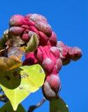 Magnolian Sayonara kärnar ur fröskidor Arkivbilder
