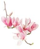 Magnolian vårrosa färg blommar filialen och knoppar Arkivfoton