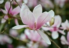 Magnoliaperfektion arkivfoton