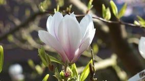 Magnoliarosa färger och vit arkivfilmer