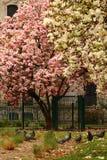Magnolias άνθισης στο Μιλάνο Έννοια της άνοιξη και της ομορφιάς magnolias άνθισης στην οδό Στοκ φωτογραφίες με δικαίωμα ελεύθερης χρήσης