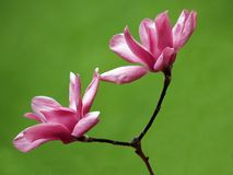 Magnolias Royalty Free Stock Photography
