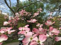 magnolias стоковое изображение