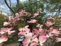 magnolias Stock Afbeelding