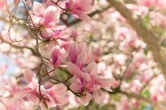magnolias royalty-vrije stock afbeeldingen