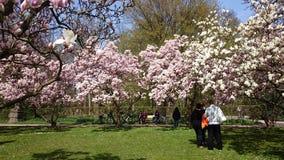 magnolias Arkivbilder