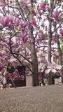Magnolias blancas rosadas Imagen de archivo