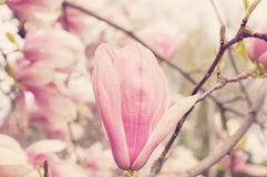Magnolias. Blossoming of pink magnolia flowers in spring time Stock Photo