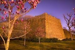 magnolias för beijing porslinstad parkerar den rosa väggen Royaltyfria Foton