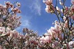 Magnolias hermosas generosas Foto de archivo libre de regalías