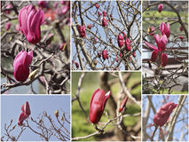Magnolias lilac spring blossoming. Collage set. Stock Photography