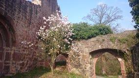Magnolias Stock Photo