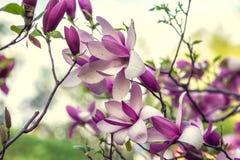 Magnolias lumineuses dans le jardin botanique de Kiev au printemps Kiev, Ukraine photo libre de droits