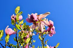 Magnolias. Magnolia flowers against a cloudless sky Royalty Free Stock Image