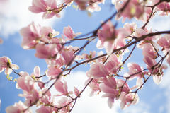 Magnolias relating to the blue sky Royalty Free Stock Images