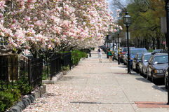 Magnolias on the sidewalk Royalty Free Stock Photo