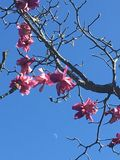 Magnolias in their beauty stock image