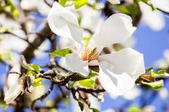 Magnoliaschoonheid Stock Foto