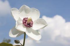 Magnoliasiboldii Stock Afbeeldingen